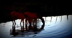 Depois da lida (Eduardo Amorim) Tags: cavalos caballos horses chevaux cavalli pferde caballo horse cheval cavallo pferd cavalo cavall tropilla tropilha herd tropillas tropilhas 馬 حصان 马 лошадь crioulo criollo crioulos criollos cavalocrioulo cavaloscrioulos caballocriollo caballoscriollos pôrdosol poente entardecer poniente atardecer sunset tramonto sonnenuntergang coucherdesoleil crepúsculo anoitecer pelotas costadoce riograndedosul brésil brasil sudamérica südamerika suramérica américadosul southamerica amériquedusud americameridionale américadelsur americadelsud brazil eduardoamorim barragem açude barrage dam damm aguada diga