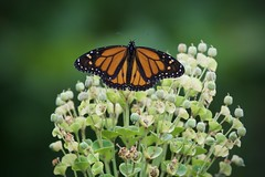 Monarch (gsmper) Tags: butterfly monarch wildlife insect flowers california garden sony sigma art mc11 bokeh colors sunlight