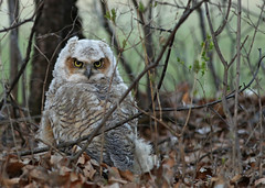 Great Horned Owlet...#1 (Guy Lichter Photography - 4M views Thank you) Tags: canon 5d3 canada manitoba winnipeg wildlife animals birds owl greathornedowl owlet