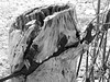 Tree stump fused with an old iron fence in St. James Cemetery in Hull (now Gatineau), Quebec (Ullysses) Tags: fused treestump ironfence stjamescemetery hull gatineau quebec canada spring printemps cemetery cimetiere arbre cloture bw