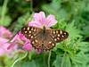 Speckled Wood (martin_swatton) Tags: speckled wood butterfly fareham hampshire uk olympus omd em1 mkii mzuiko 60mm f28 macro