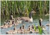 Greylag Goose Posse (the GGP!) ... (jim197328) Tags: duck gm water birds sony a7 reeds greylag marsh
