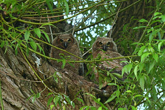 Wild great horned owlets. (Mel Diotte) Tags: great horned owl owls owlet wild nature raptor hunter tree forest wildlife mel diotte explore nikon d500 eyes baby babies