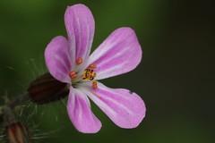 Herb Robert (phileveratt) Tags: macromondays allnatural herbrobert geraniumrobertianum flower canon eos77d ef100mmf28usmmacro