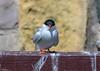Strike A Pose, Artic Tern (Steve (Hooky) Waddingham) Tags: animal bird british sea summer nature northumberland coast photography fish wild wildlife