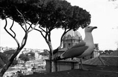Roma (Galuringa) Tags: roma rome olympus efke gabbiano seagull rodinal 1100 street italy olympusom40 zuiko35mmf28