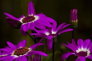 vibrant stages of Pericallis flowers, a Potterton garden, Aberdeenshire, Scotland