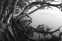 Broadwater Reflections (335semi) Tags: australia nsw nationalpark np national park myallcoast myalllakesnationalpark myalllakes myall lake sunset reflections fujix100t fuji broadwater paperbark paperbarks bw monochrome
