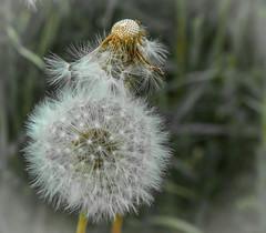 weeds -4 (Queen Bee Deb) Tags: weed garden newhamburg ontario canada ca dandelions dandelion seeds downy yellow plant macro