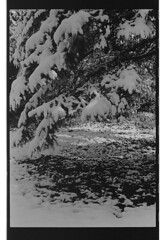 P61-2018-016 (lianefinch) Tags: argentique argentic analogique analog monochrome blackandwhite blackwhite bw noirblanc noiretblanc nb nature neige snow winter hiver white blanc noir arbre tree garden jardin sapin fir
