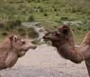 DSC_0112 (shinchey) Tags: oaklandzoo 2018zoo camels
