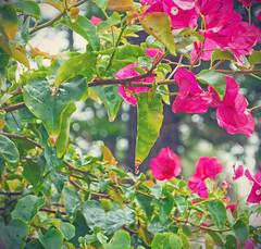 leaf drop (Katie's Cape) Tags: tropical flowers paradise florida beach pink colorful rain raindrop drop wet weather cocoa