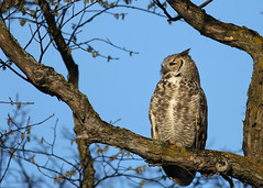 Great Horned Owl...#6 (Guy Lichter Photography - 4M views Thank you) Tags: owlgreathorned canon 5d3 canada manitoba winnipeg wildlife animal animals birds owl owls male