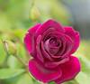 Caravan Park ... Day 6 (judith511) Tags: flowers nundle fossickerscaravanpark nsw australia rose