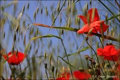 Jueves rojo. (oscanpa ( Oscar )) Tags: amapolas rojo nublado flickerosdeibiza