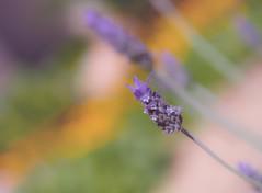 Perfums (jocsdellum) Tags: olor flower flor espigol lavanda jardí garden perfume fragance spring primavera lavender