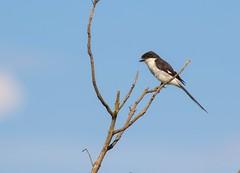 Northern Fiscal (Lanius humeralis) (piazzi1969) Tags: elements northernfiscal laniushumeralis fiscals shrikes birds wildlife africa afrika uganda nature canon eos 7d markii ef100400mm