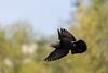 Passage éclair - Flying visit (bboozoo) Tags: nature wildlife pigeon bokeh profondeurdechamp canon6d canon70300isiiusm