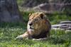King of the Asheboro Zoo (Karnevil) Tags: usa nc northcarolina asheboro asheborozoo zoo northcarolinazoo nczoo africaexhibit africaregion africaarea lion mammal pantheraleo felidae bigcat cat zoom zoomlens 400mm nikon d610 petekreps