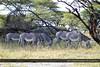 Samburu Zebras (Gabby Canonizado 02 (New account)) Tags: zebra grévyszebra samburu samburuzebras nikon d7000 nikond7000 canonizado gabbycanonizado 7003000 mm f4056 nikon7003000mmf4056 kenya samburukenya earthday earthday2018