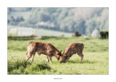 It's MY grass! (AnthonyCNeill) Tags: cows calves siblings playing kuhe field english countryside outdoor spring primavera grass vaca vache young youngsters cattle livestock
