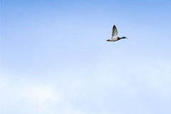 Minimalism : alone in the sky (Franck Zumella) Tags: blue sky duck canard bird oiseau fly flying voler vol ciel mallard colvert nature minimalisme minimalism alone seul