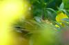 Grasshopper (tankokher) Tags: tokina home grasshopper garden 100mm
