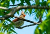 Northern Cardinal Female (scottrobart) Tags: northern cardinal female