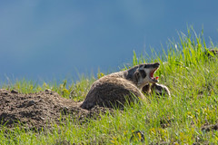 Don't stop (ChicagoBob46) Tags: badger badgercub cub yellowstone yellowstonenationalpark nature wildlife