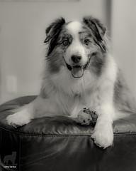 Victorious! (Jasper's Human) Tags: aussie australianshepherd dog ottomanempire zippypaws play victorious sated happy