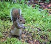 Mouthfull (ironicdream) Tags: squirrel cute nature backyard grass outside animal sony a6000 florida