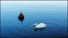 Towards the End of Daylight (Eline Lyng) Tags: coast bird animal swan larkollen norway leica s 007 leicas leicalens mediumformat summarits70mm 70mm bokeh dof nature