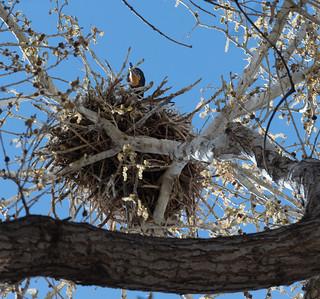 cormorant_on_nest-20180328-100