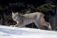 Creeper (Megan Lorenz) Tags: lynx canadalynx wildcat cat feline animal mammal nature wildlife wild wildanimals ontario northernontario canada mlorenz meganlorenz