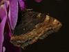 Nymphalis polychloros - Blackleg tortoiseshell - Многоцветница (Cossus) Tags: 2015 nymphalidae nymphalinae nymphalis vanessa улитино