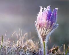 Pasque flower (BirgittaSjostedt) Tags: pasqueflower flower nature pulsatillavulgaris commonpasqueflower europeanpasqueflower danesblood closeup macro light meadow spring outdoor