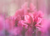 Coloring the Spring Azaleas (Charles Opper) Tags: azalea canon georgia spring bokeh color doubleexposure dreamy flowers light nature pastel soft warm midway unitedstates blur intentionalcameramovement