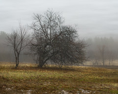 Having a 'Bad Hair' Day... (Chancy Rendezvous) Tags: chancyrendezvous davelawler blurgasmcom blurgasm hill weather tree rain fog mist branches creepy mud landscape sibleyfarm burncoat spencer massachusetts