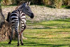 Plains Zebra (dpsager) Tags: dpsagerphotography disneyanimalkingdom disneyworld florida orlando waltdisneyworld zoo zebra plainszebra