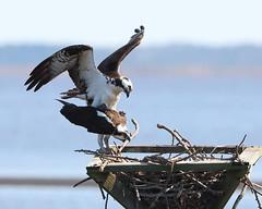 Watch those toenails! Please! (ftherit) Tags: osprey pair birds prey nature fish hawk nesting spring blackwater nwr canon 1dx ii 600mm