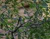 20180407-0I7A9557 (siddharthx) Tags: achampet bird birdwatching birdsofindia birdsoftelangana canon canon7dmkii closerange dawn dawnsunriseumamaheshwaram ef100400f4556isii goldenhour portraiture sunrise telangana umamaheshwaramtemple umamaheshwaram india in yellowthroatedbulbul bulbul tree leaf wood