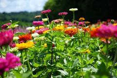 dreamfield (larrynunziato) Tags: floralphotography summer floralfield