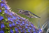 2018 Hummer # 26 (Tongho58) Tags: huntingtonbeach hummer hummingbirds huntington flowers echiumfastuosum prideofmadeira