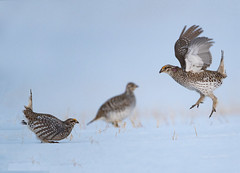 Combatants (Peter Stahl Photography) Tags: colinton alberta canada ca athabasca lek snow spring breedingplumage behaviour fighting males female grouse