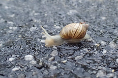Snail sp (Baractus) Tags: snail john oates freycinet national park tasmania australia saffire inala nature tours