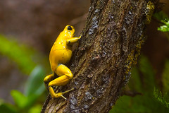 golden poison frog (murtica27) Tags: bergzoo halle sachsen anhalt germany deutschland südamerika south america outdoor action tiere sony alpha black yellow monochrome farbig murtica baum landschaft frosch frog lurch rainforest regenwald phyllobates terribilis