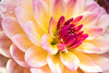 "Joy in Bloom (johnshlau) Tags: ""joy bloom"" ""theme flower"" joy bloom spring nature party dahlia blossom ""bold palette"" palette colors bold bright fiery sunshine flowers flora"