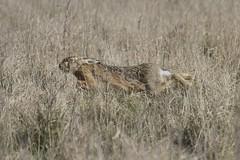 IMG_1536 (Sula Riedlinger) Tags: brownharelepuseuropaeus hare hares elmley elmleynationalnaturereserve elmleynaturereserve kentwildlife nature nationalnaturereserve northkentmarshes mammal ukwildlife uknature ukmammal wildlife wildlifephotography