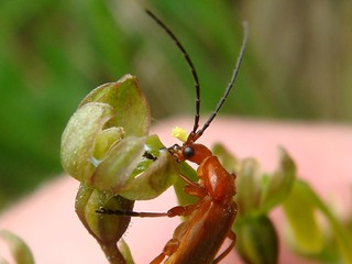 Bonking beetle with pollenia