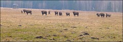 Bisonte europeo